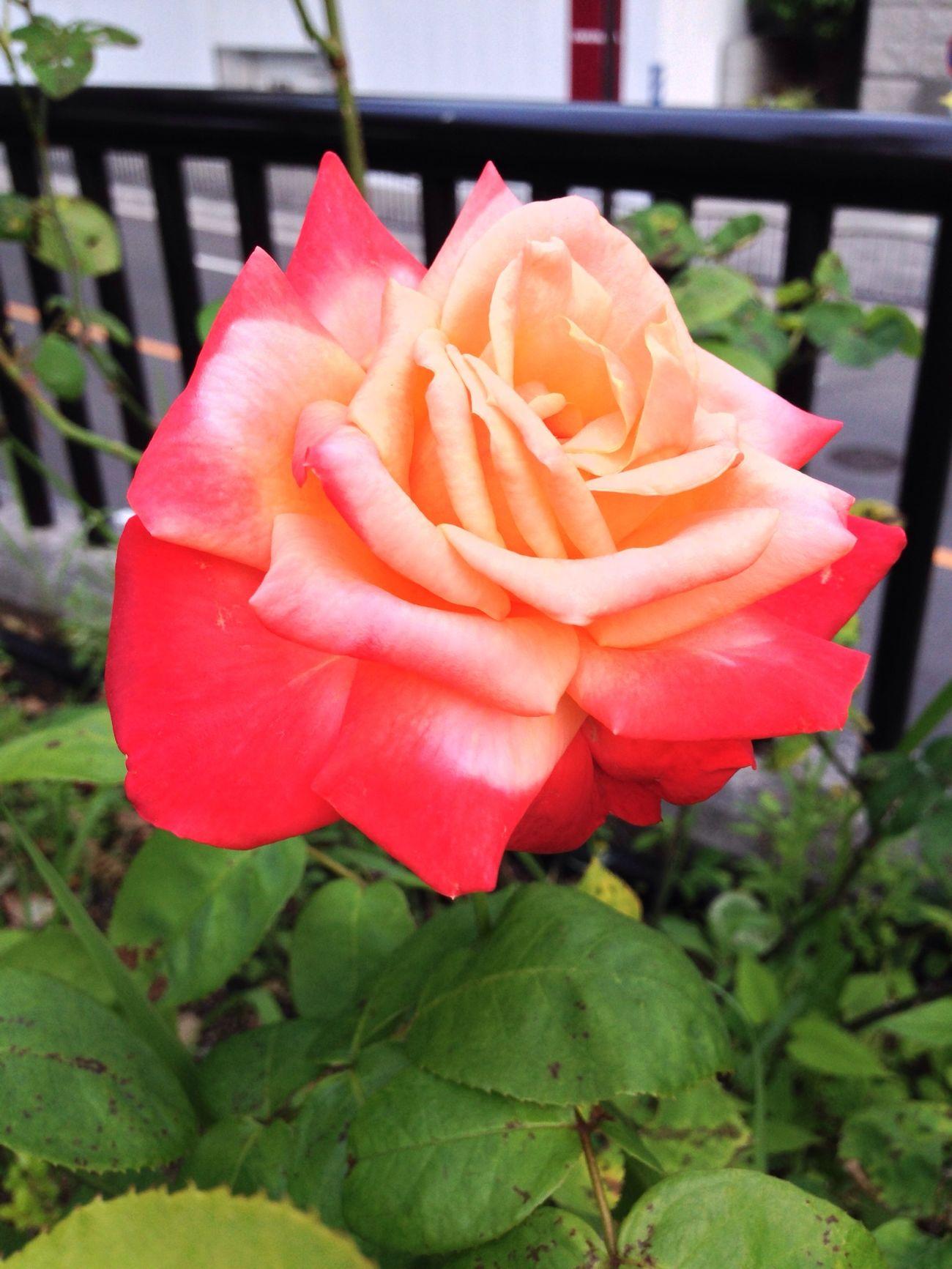 Flower 薔薇 バル デュ ソワール 大阪