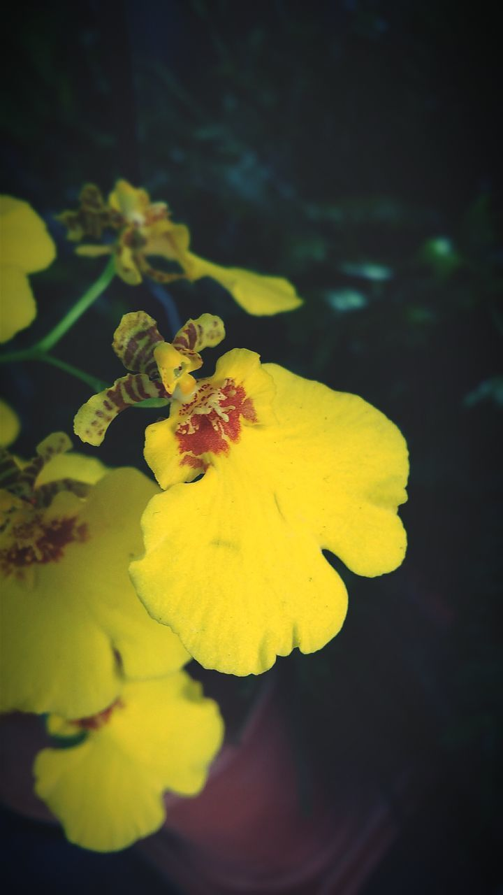 flower, petal, yellow, fragility, beauty in nature, growth, nature, freshness, flower head, outdoors, close-up, plant, no people, day, animal themes