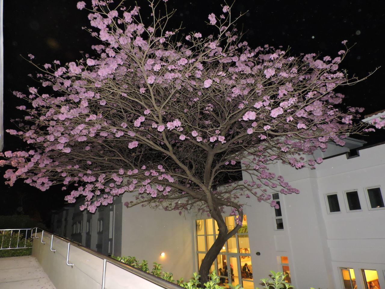 flower, built structure, building exterior, tree, architecture, nature, blossom, night, no people, growth, springtime, outdoors, beauty in nature, illuminated, branch, fragility, sky, freshness, city