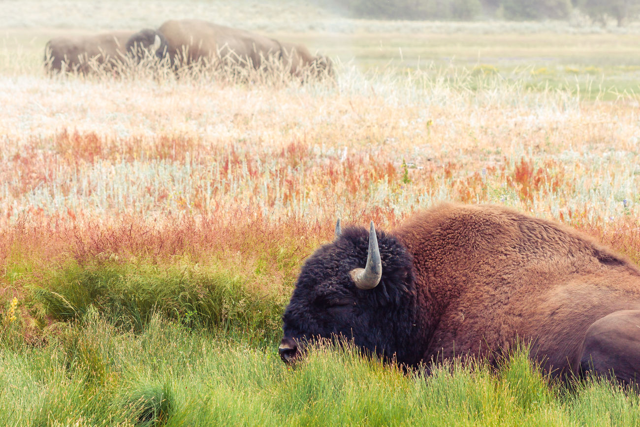 Animal Head  Animal Themes Beauty In Nature Bison Buffalo Day Field Grass Herbivorous Landscape Mammal National Park Nature No People Outdoors Wildlife Wyoming Yellowstone National Park