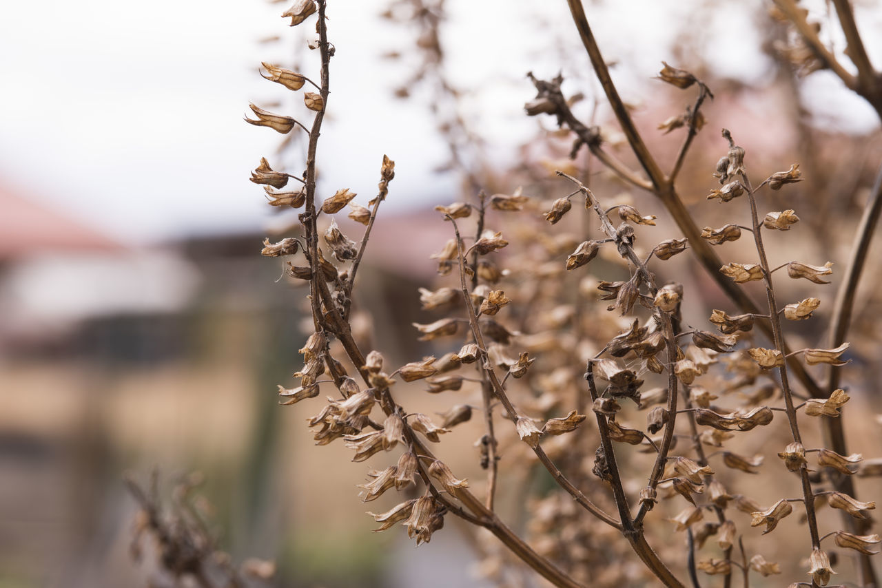 seed died shiso nature Japan plant Flower winter Brown Brown Died Flower Nature Plant Seed Shiso Winter