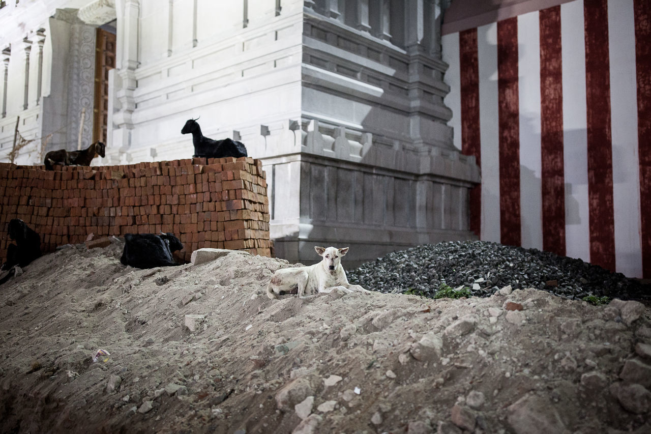 "From ""Dogs never bite me"" #animal #brique #contemporaryart #contemporaryphotography #dog #EyeEmNewHere #eyembestshot #GOAT #Night #nightshot #red #sand #streetdog #temple #travel #travelphotography #White Animal Themes Animal Wildlife Architecture Built Structure No People Outdoors Perching Pets The Street Photographer - 2017 EyeEm Awards The Street Photographer - 2017 EyeEm Awards"