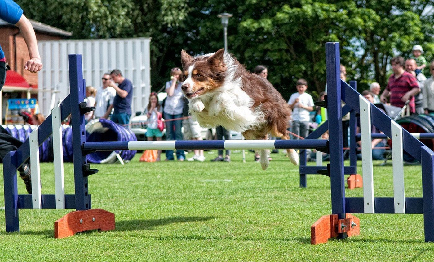 Collie in action Dog Agility Country Fair Dog Photography Dog Working Dogs Dog Portrait Dogs In Action Taking Photos Dogs Border Collie Relaxing Outdoors