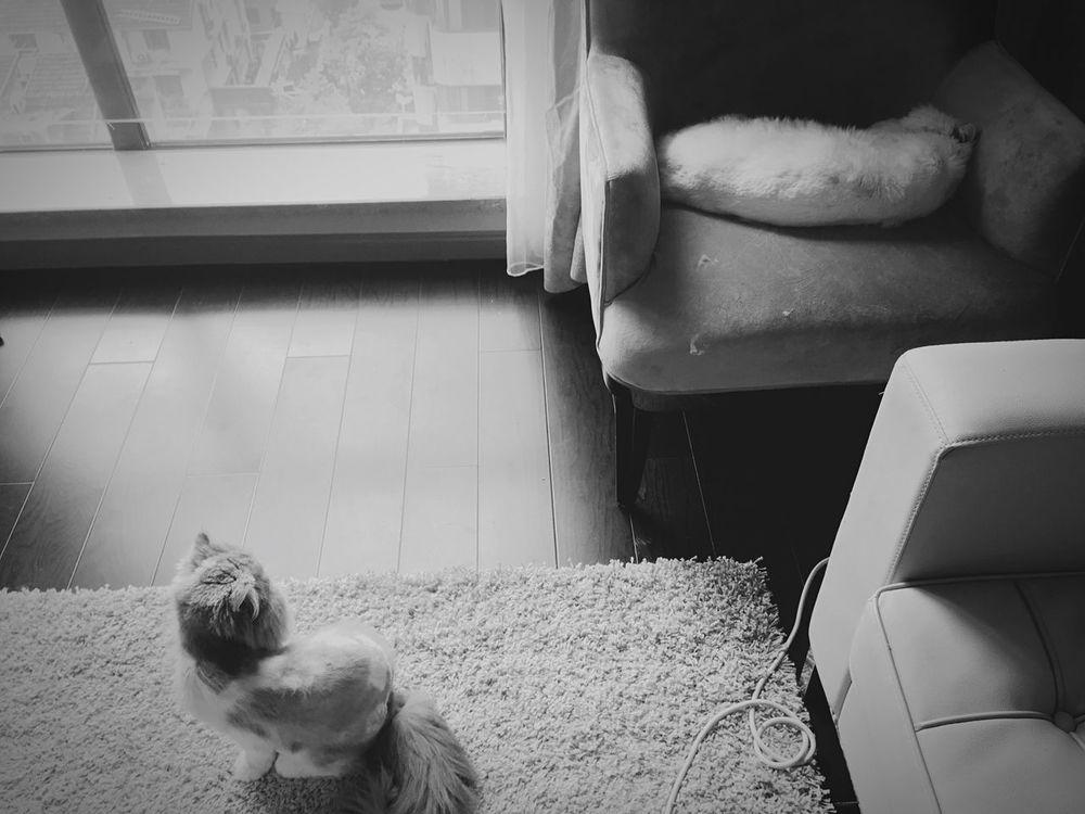 Xiaobai Xiaohui Cat Cats