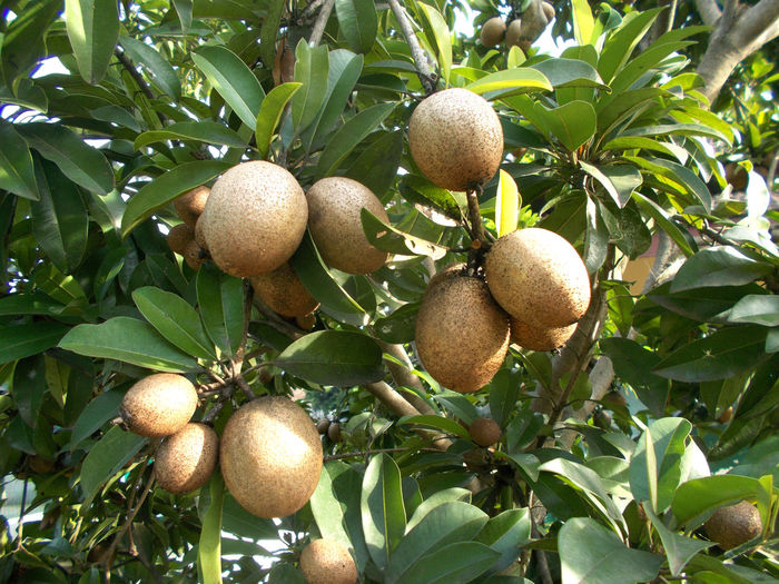 vrown sapodilla fruits hanging on the tree Branch Day Delicious Fruit Food Freshness Fruit Green Color Healthy Eating Healthy Food Healthy Fruit Low Angle View Nature No People Outdoors Sapodilla Sapodilla Fruit Sapodilla Leafs Sapodilla Tree Tree Tropical Fruit Tropical Plants