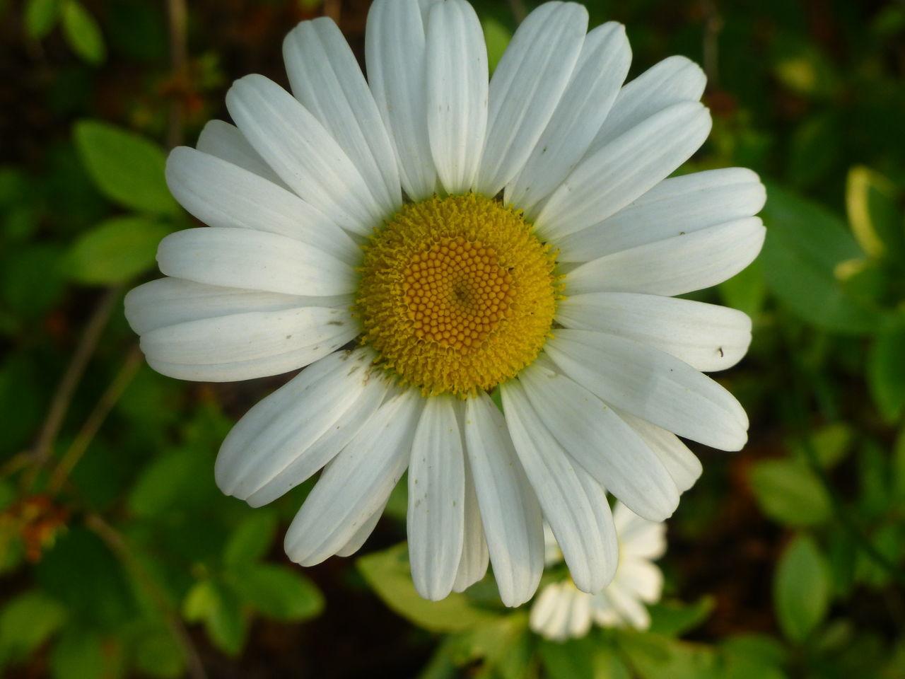 Close-Up Of Fresh Daisy Flower