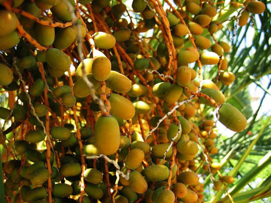 2003 Palm Tree Close-up Day Green Color Nature No People Outdoors Santa Margherita Di Pula Sardegna Tree