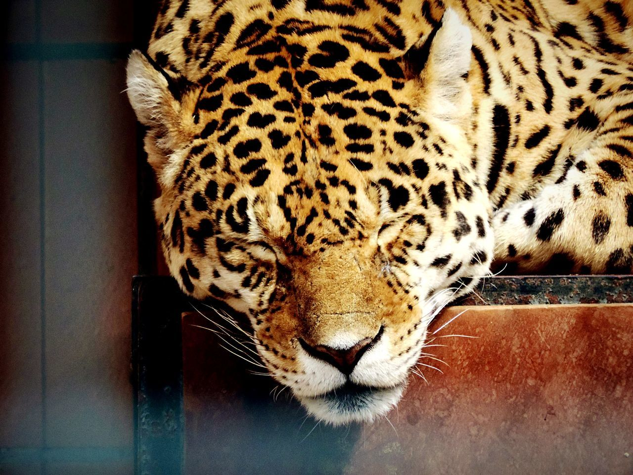 Beautiful stock photos of jaguar, Adult Animal, Animal Body Part, Animal Head, Animal Markings