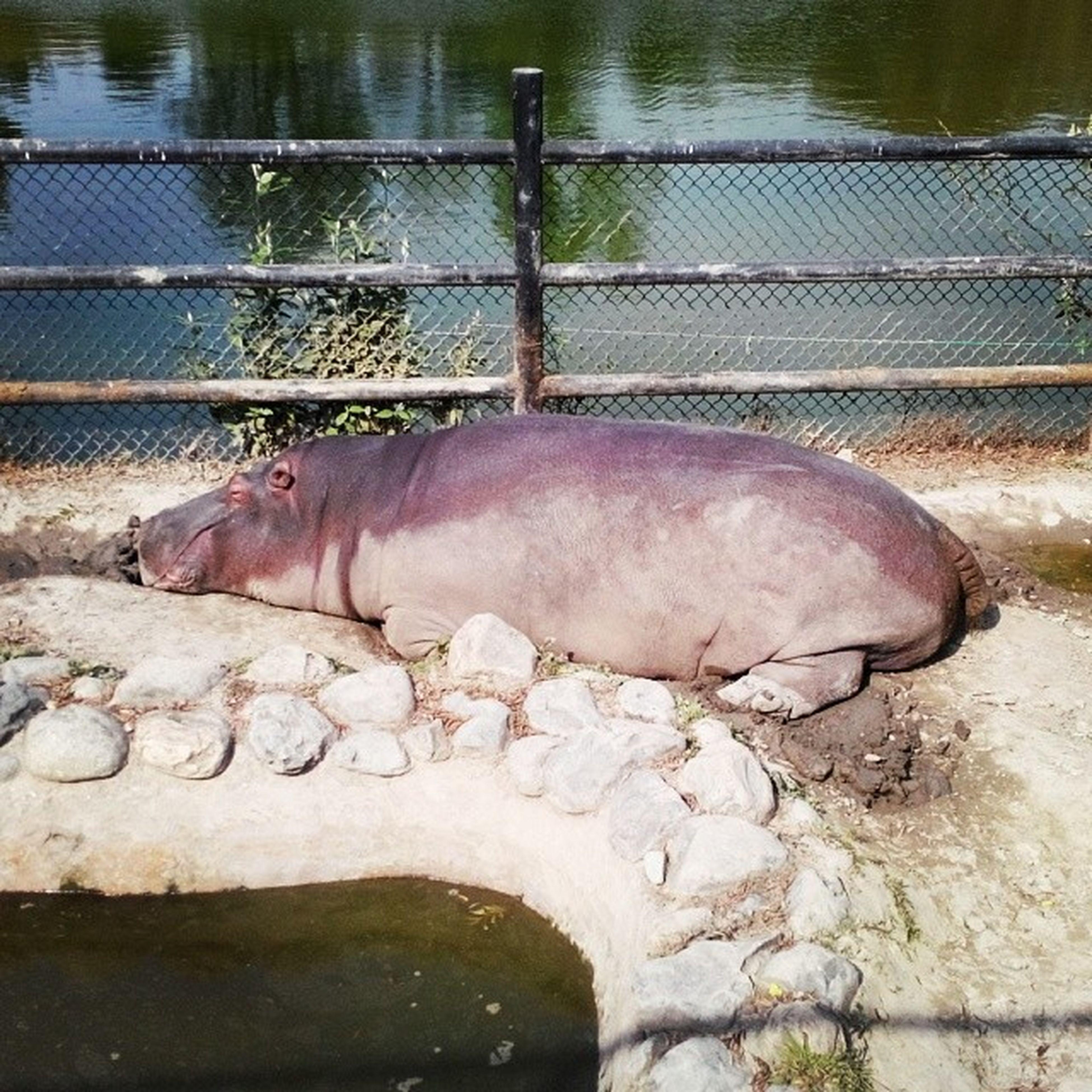 Sun bath Funnyhippo Zoo Lookslikeseden