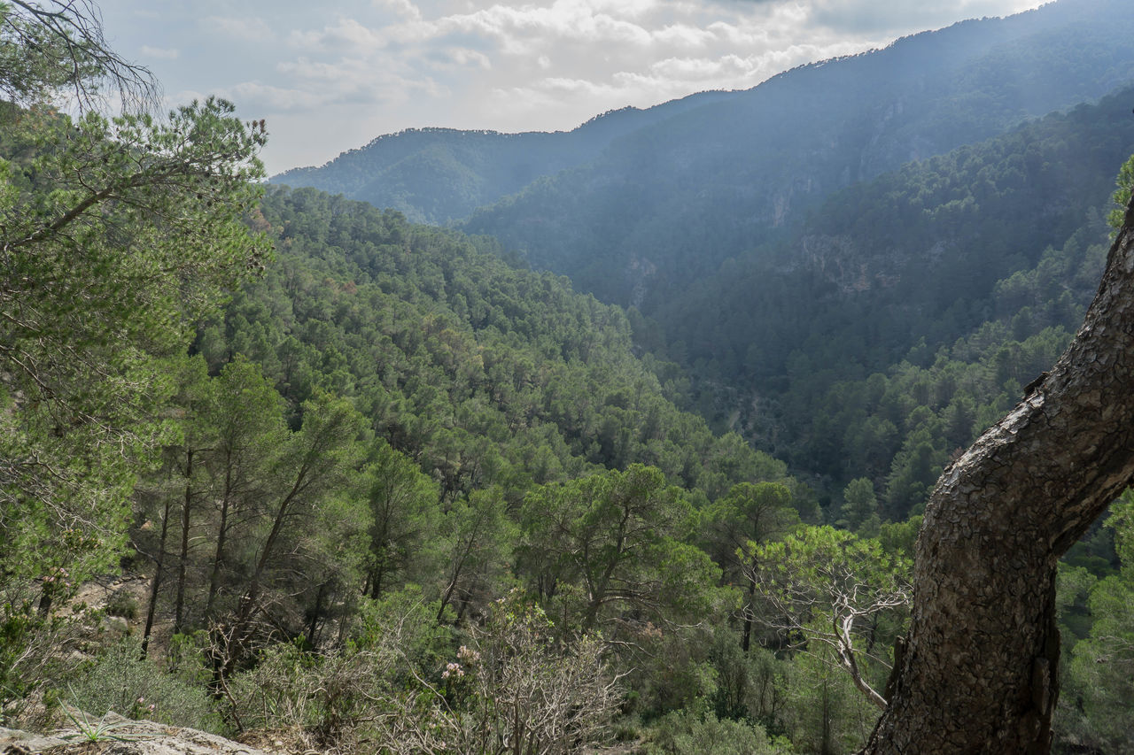 Vall de Coanegra Beauty In Nature Forest Freshness Green Color Landscape Lush - Description Mountain Nature Outdoors Pinaceae Pine Woodland Tree Valley in Orient, Mallorca, Illes Balears