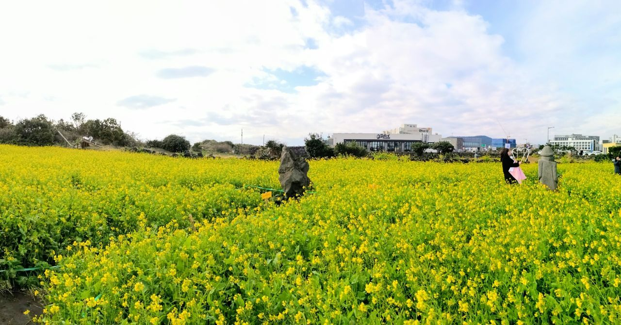 Yellow Nature Cloud - Sky Flower JEJU ISLAND  Tourism Sunlight Journey Leica Huawei P9 제주도 First Eyeem Photo Warm Spring Flowers Spring Spring 2017 2017성산유채꽃밭