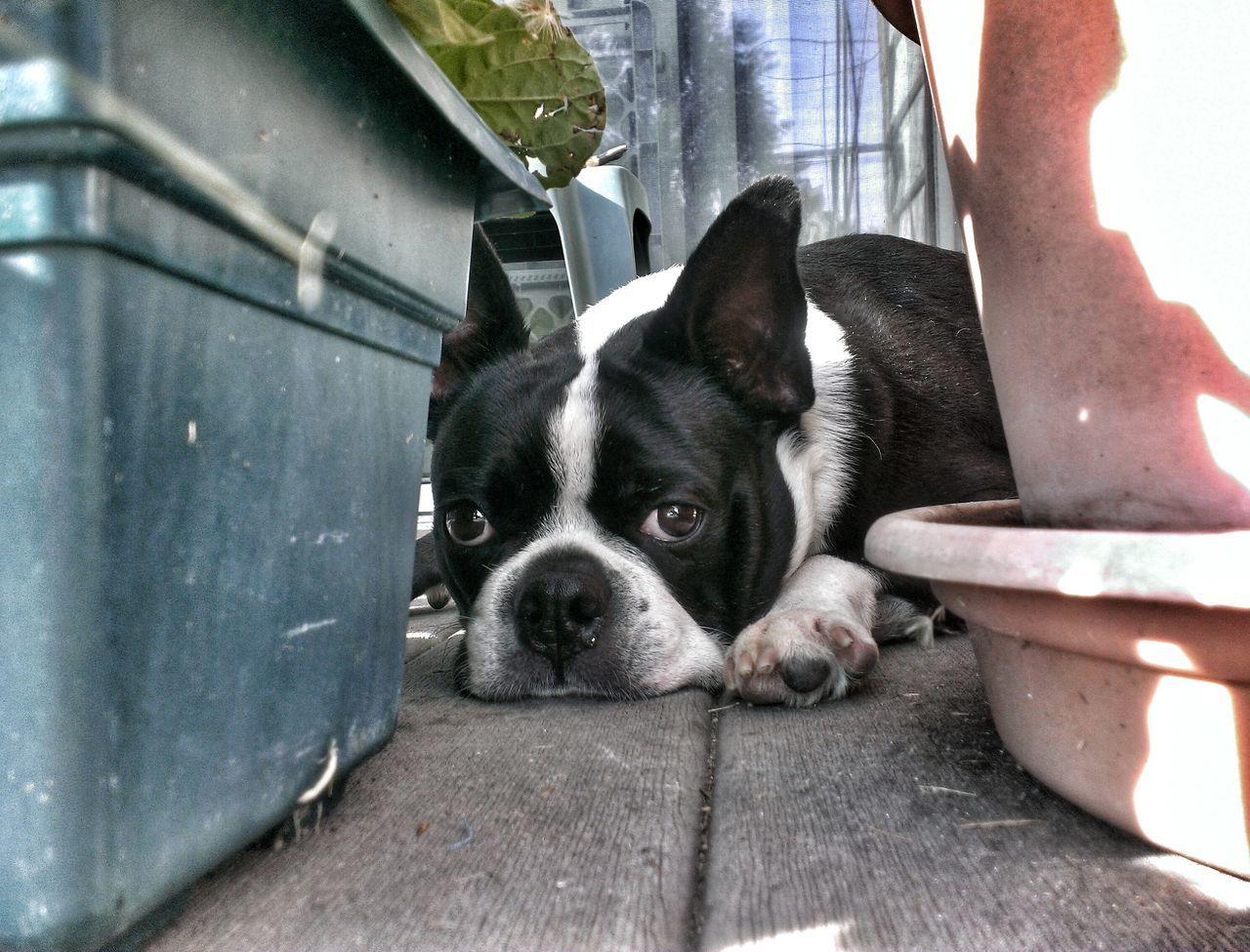 Beautiful stock photos of bulldog, Animal Themes, Bulldog, Day, Domestic Animals