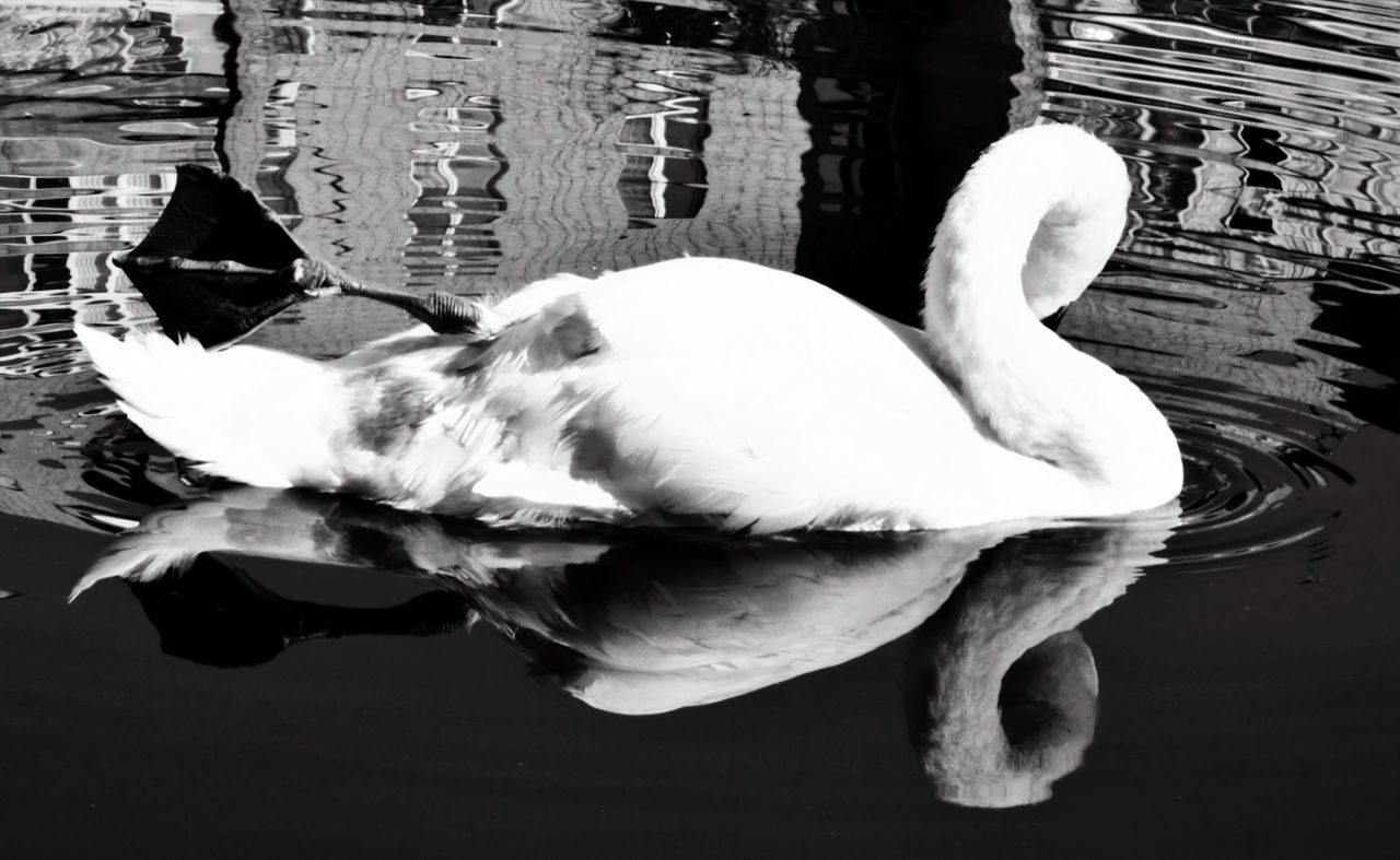 reflection, animal themes, one animal, bird, animals in the wild, water, outdoors, day, no people, close-up, swan, swimming, nature