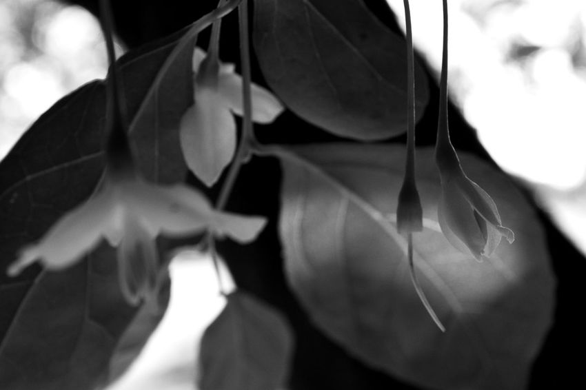 Beauty In Nature Black & White Black And White Blackandwhite Close-up Contrast Day EyeEm Best Shots EyeEm Nature Lover Flower Glowing Grey Greyscale Lantern Leaf Leaves Lifestyles Light Light And Shadow Nature_collection No People Outdoors Shadow Softness Summer BYOPaper!