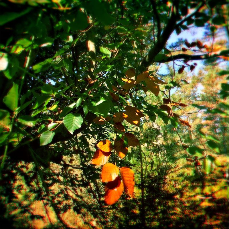 Trees Leaves Beech Branches Nature Beauty In Nature Orange Leaves Autumn Sunny Day