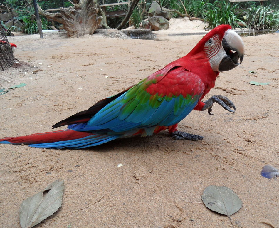 Animal Themes Ara Bird Birds Of EyeEm  Birds_collection Brasilien Close-up Colourful Animal Colourful Nature Day Macaw Macaw Parrot No People One Animal Outdoors Parrot Parrots Of Eyeem Perching Tropical Paradise South America