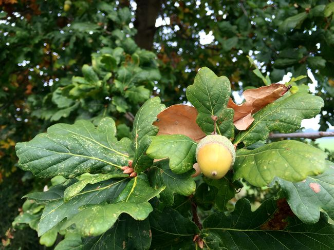 From giant oaks, small acorns grow. Acorn Oak Oak Tree Nut Fruit Leaves Autumn Photograph Wildlife Vegetarian tree