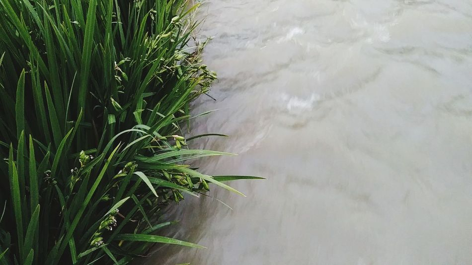 RiverSide Agriculture Water Crop  Outdoors Rice Paddy Nature Tranquility Rice - Cereal Plant Day Rural Scene Landscape No People Cereal Plant Lake Grass Flood Beauty In Nature Irrigation Equipment Water_collection Riverside Waterfront Lush - Description Personal Perspective