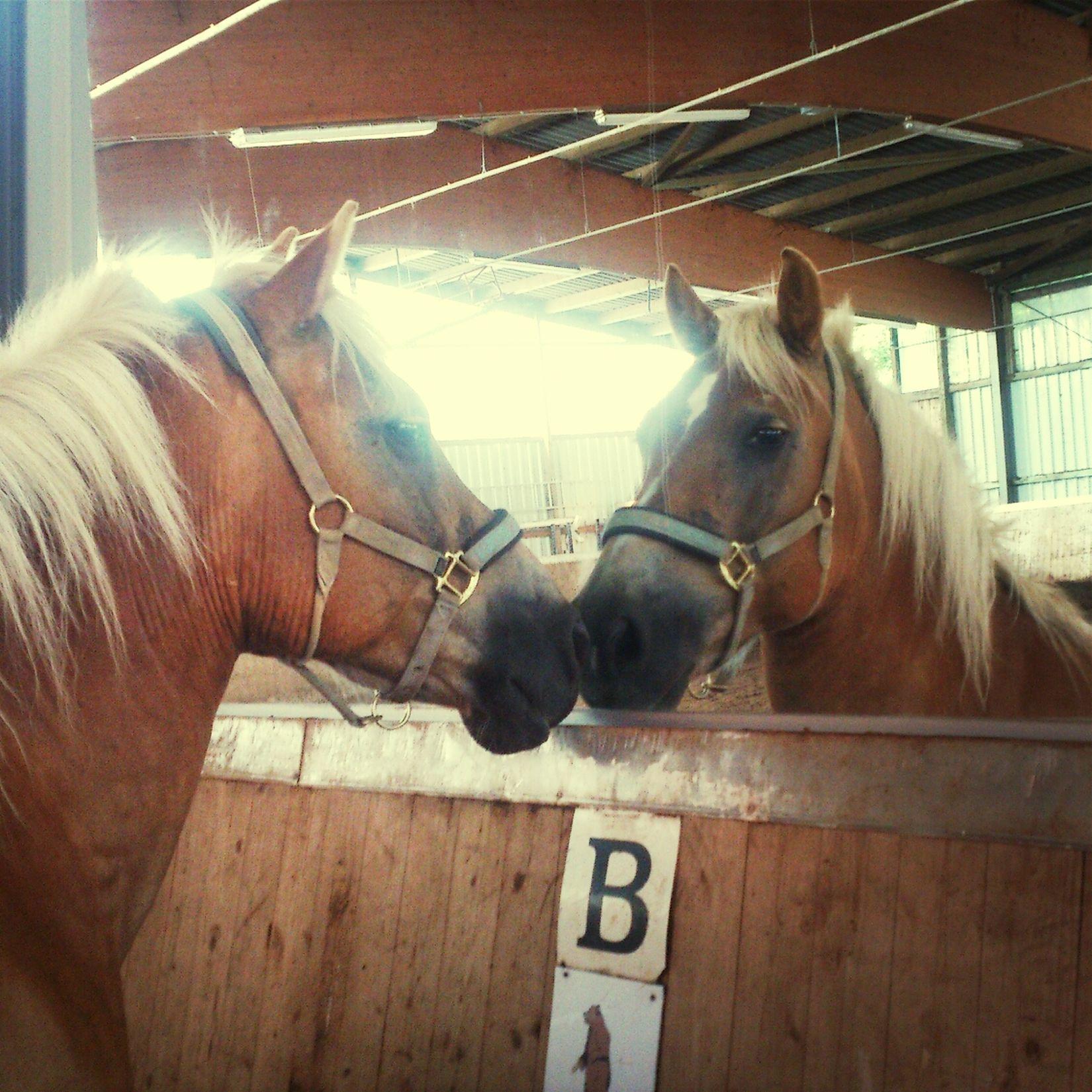 Max horse Spiegel haflinger Bestes Pferd