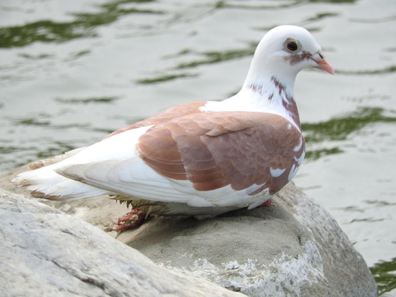 Beautiful stock photos of dove,  Animal Wildlife,  Animals In The Wild,  Bird,  Day
