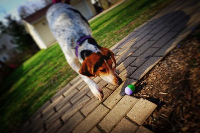 Lacey locates the last of several treat-filled eggs on Easter Sunday, taking all of about 90 seconds. Check This Out Dog Enjoying Life Easter Photojournalism Photooftheday EyeEm Best Shots Shootermag_usa Documentary Reportage EyeEm Gallery Eye4photography  Dogsofeyeem