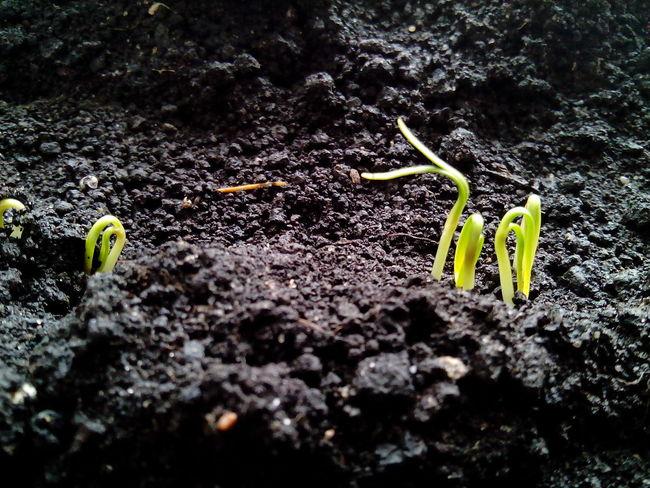 Sprouts Planting Planting Seeds Soil Soil Pot