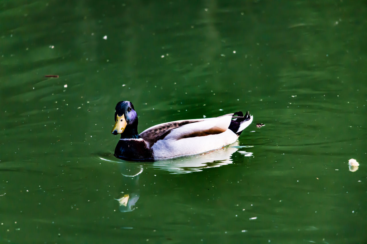 animal themes, animals in the wild, one animal, water, swimming, lake, waterfront, animal wildlife, duck, bird, nature, water bird, day, mandarin duck, no people, outdoors, beauty in nature