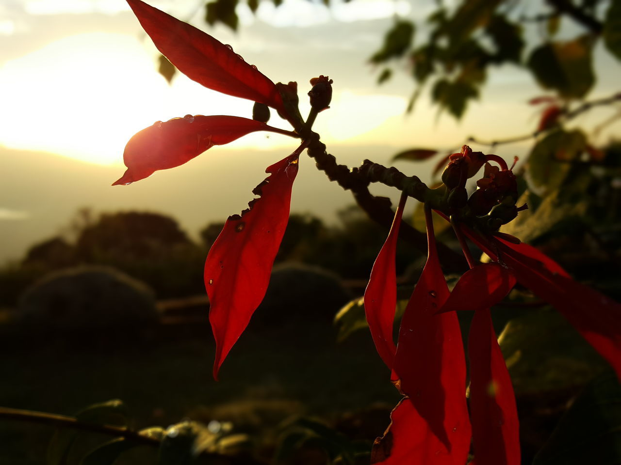 Red Close-up Sunlight Plant Outdoors Sunset Nature Beauty In Nature No People Day Sunrise Tree Morning Sky Morning Light Morning Sun Morning View Morning Mood Kenya