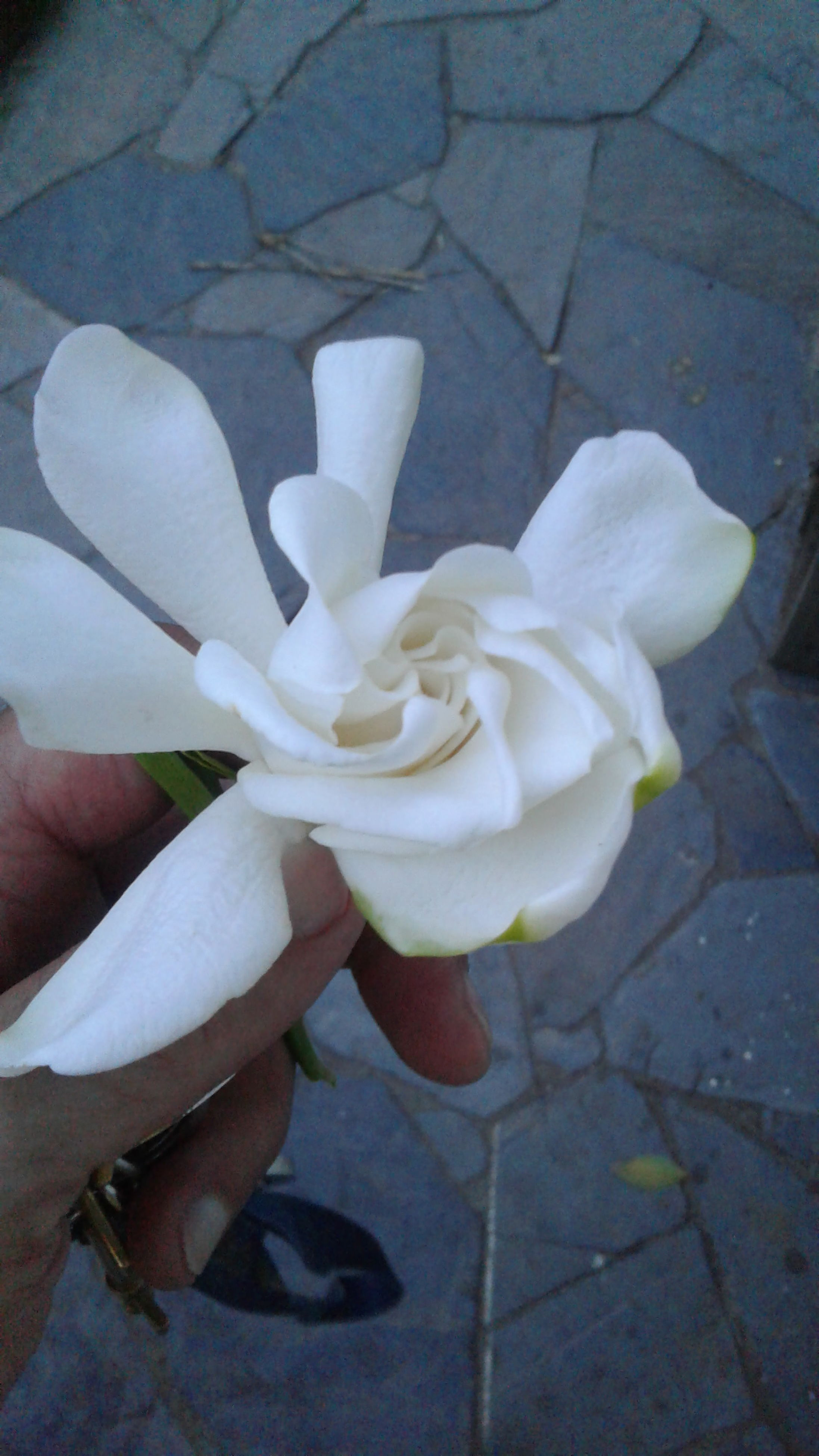 real people, white color, human hand, one person, holding, day, human body part, flower, outdoors, close-up, freshness, nature, low section, flower head