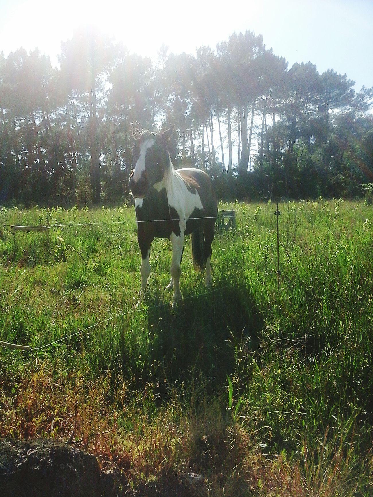 Cheval Horse