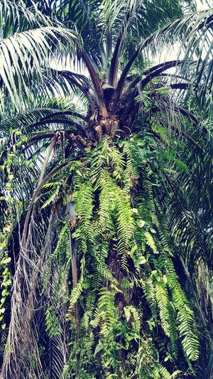 Growth Nature Day Full Frame No People Tree Green Color Backgrounds Low Angle View Outdoors Close-up Beauty In Nature palm tree Green
