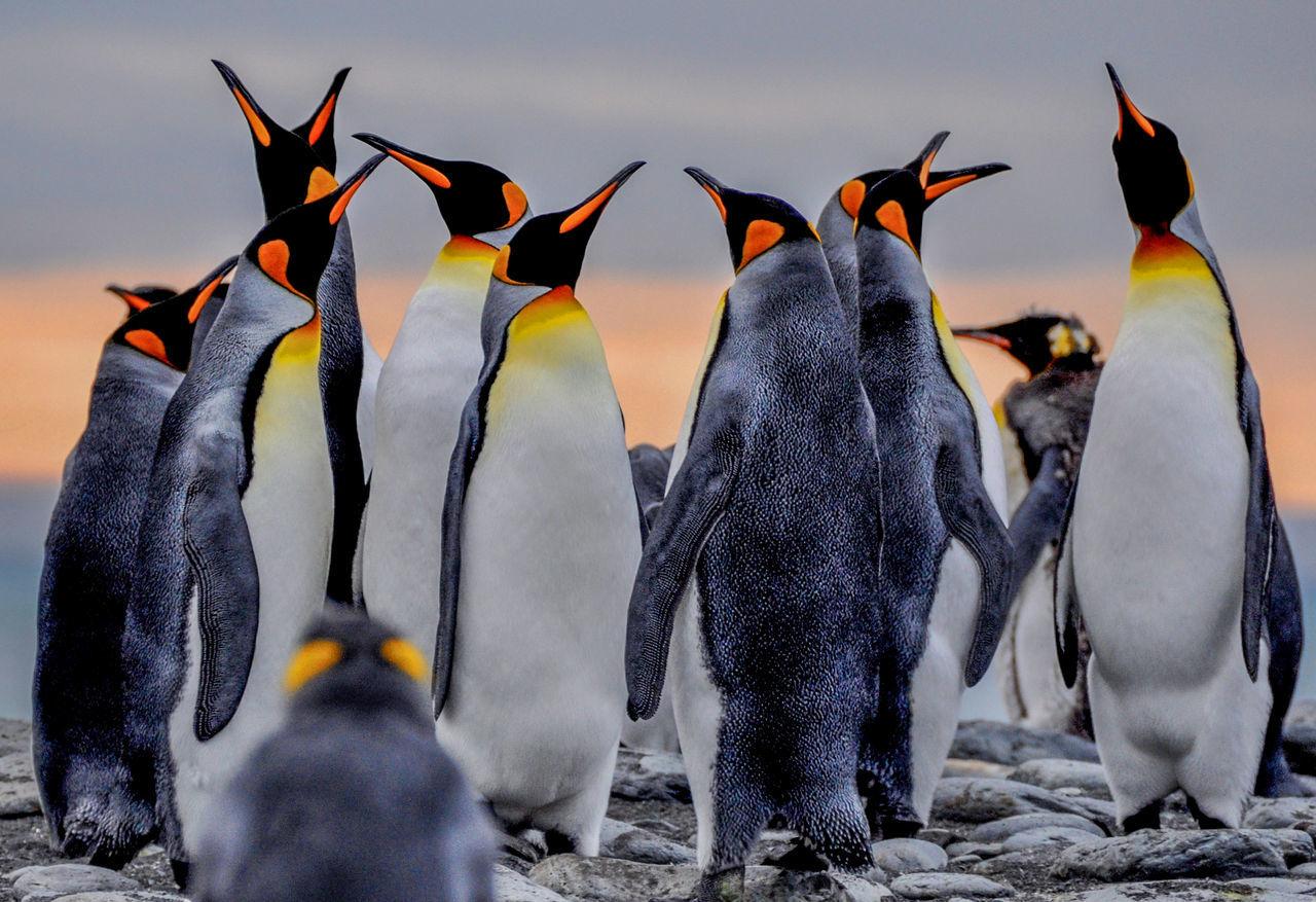 Beautiful stock photos of pinguin, Animal Family, animal Behaviour, animal Head, animal Themes
