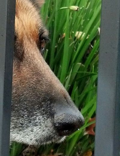 Dog No People Phoneography Bay Area Canine Outdoors German Shepard Portrait Beautiful Eyes