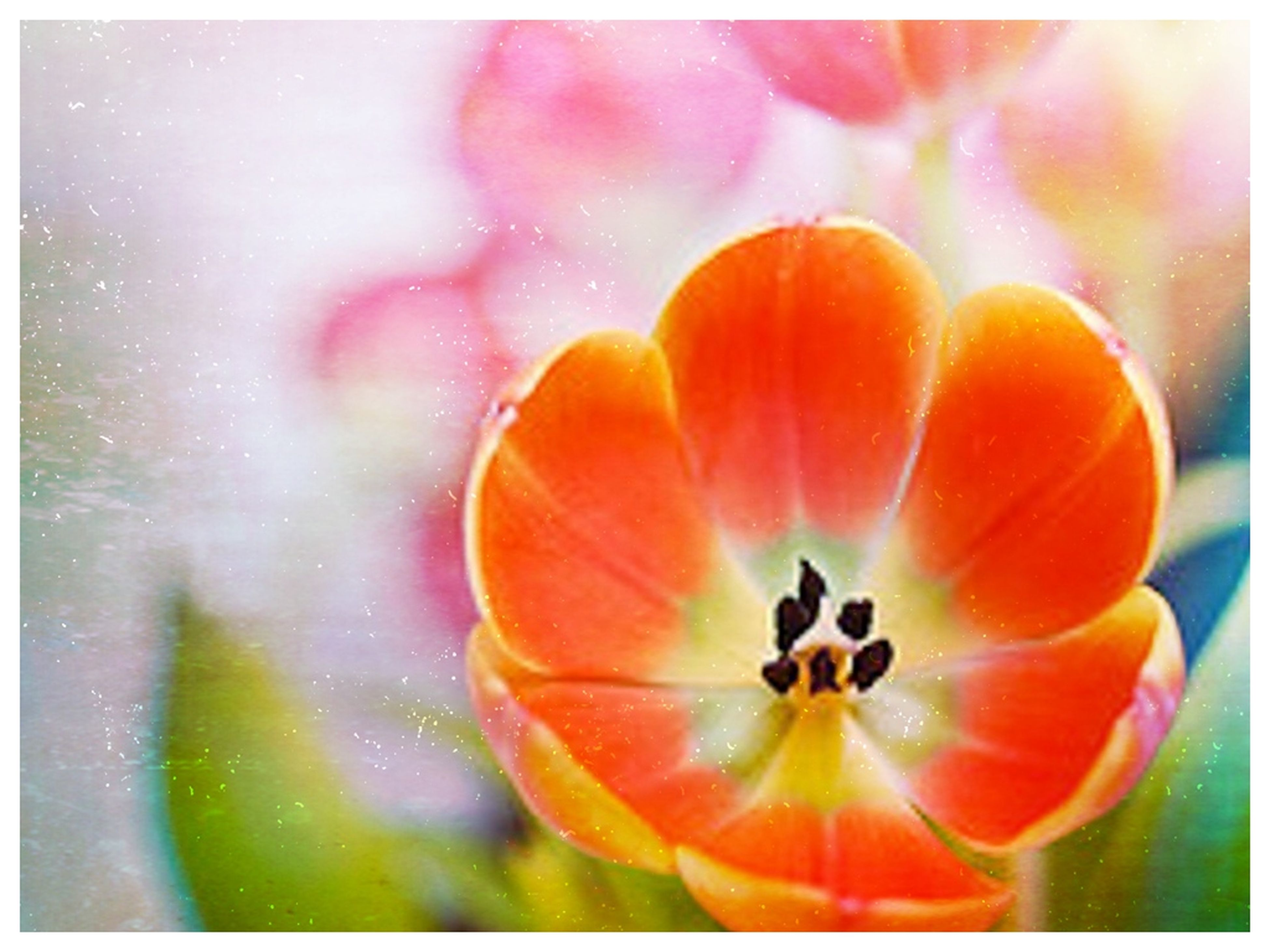 transfer print, flower, auto post production filter, freshness, fragility, petal, flower head, beauty in nature, growth, orange color, close-up, nature, plant, blooming, focus on foreground, red, outdoors, no people, single flower, pollen