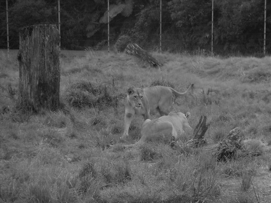 Animal Themes Animals In The Wild Blackandwhite Day Eyeemnaturelover EyeEmNewHere Field Fresh On Eyeem  Grass Lioness Lions Mammal Nature No People Outdoor Photography Outdoors Tree