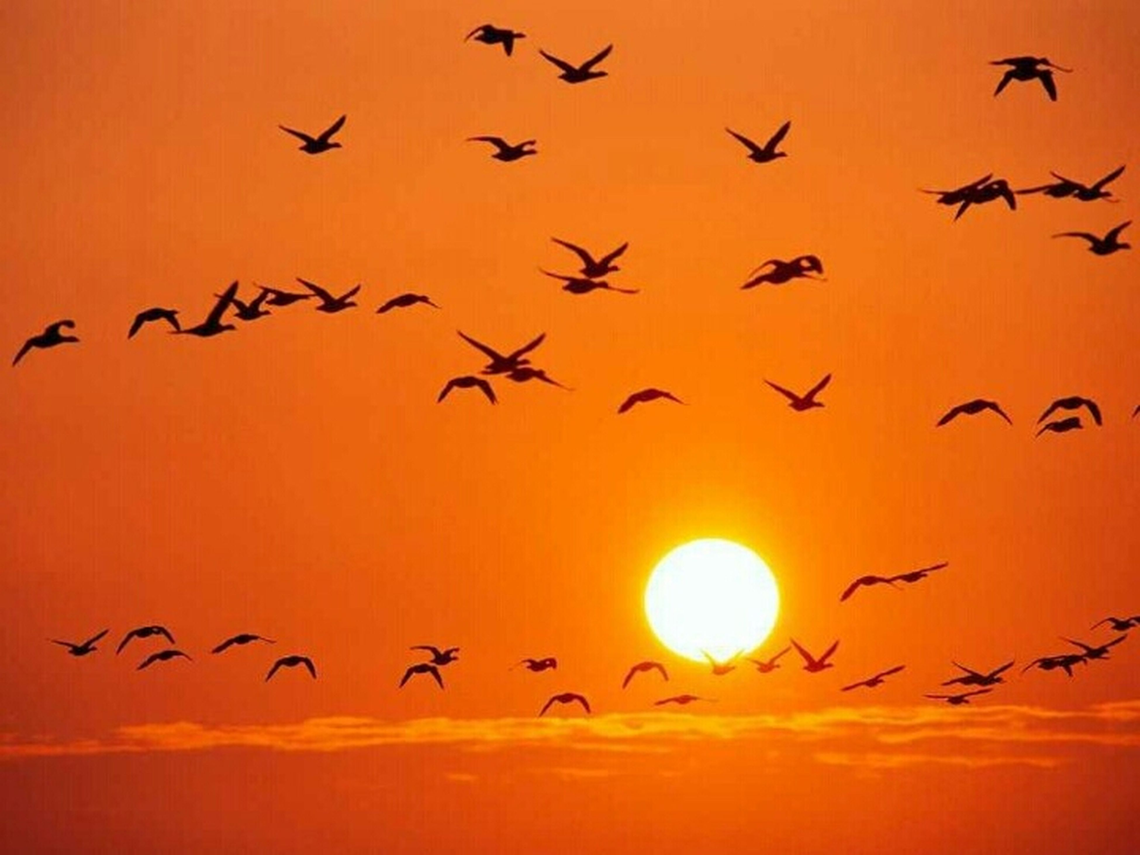 bird, flying, sunset, animal themes, animals in the wild, wildlife, flock of birds, silhouette, orange color, sun, low angle view, mid-air, sky, beauty in nature, nature, scenics, migrating, spread wings, medium group of animals