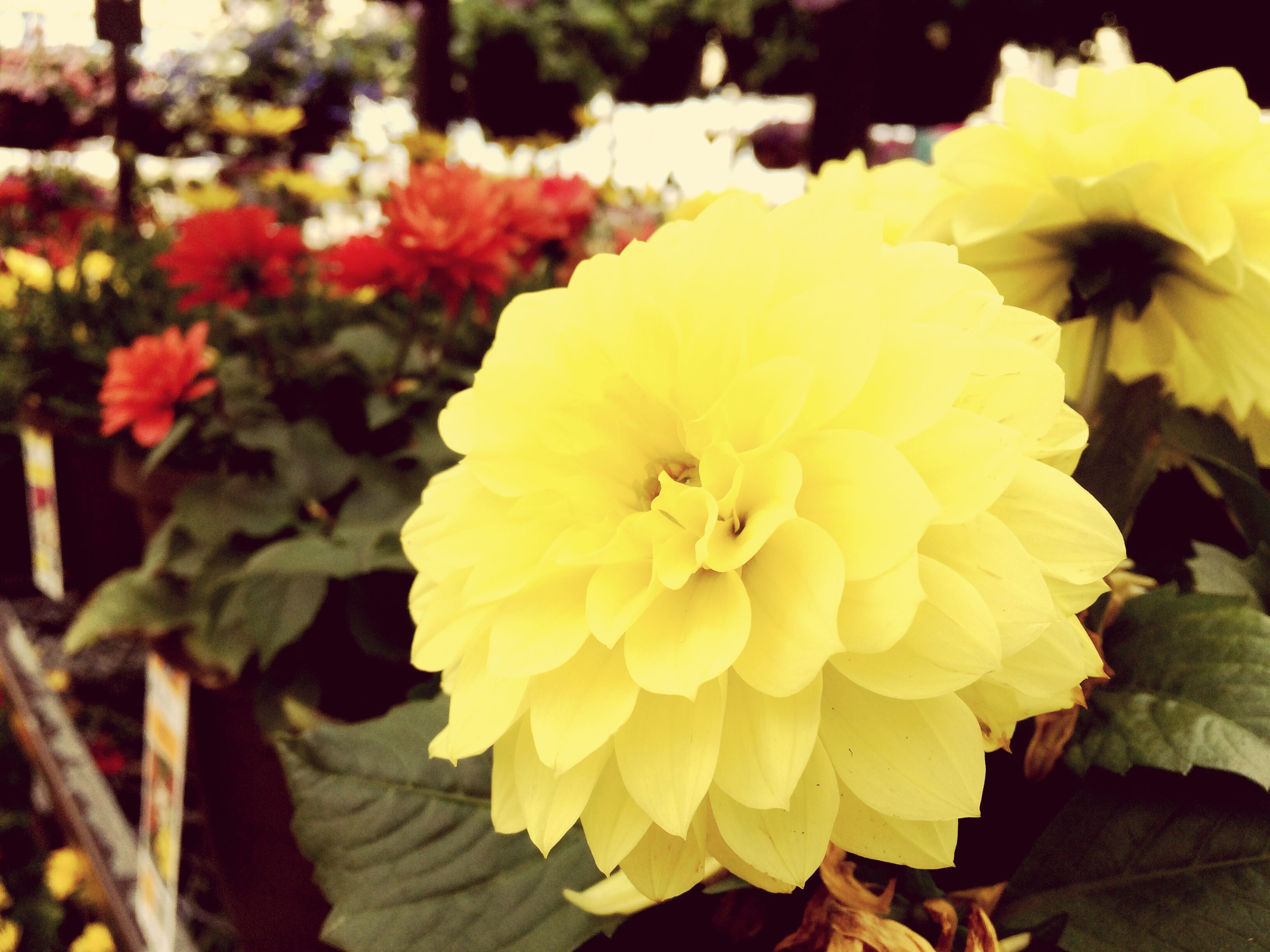flower, petal, flower head, freshness, fragility, beauty in nature, growth, yellow, blooming, close-up, focus on foreground, nature, plant, in bloom, single flower, park - man made space, pollen, day, blossom, botany
