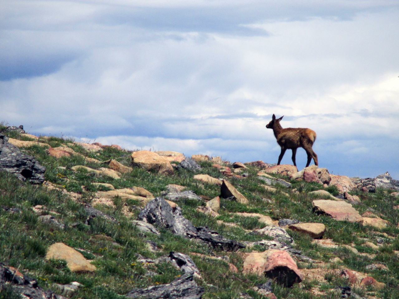 Animal Themes Beauty In Nature Cloud - Sky Colorado Day Elk Eye4nature Eye4photography  Landscape Mammal Mountain Nature Nature_collection No People One Animal Outdoors Rock Rocky Rocky Mountain National Park Scenics Sky The Great Outdoors With Adobe
