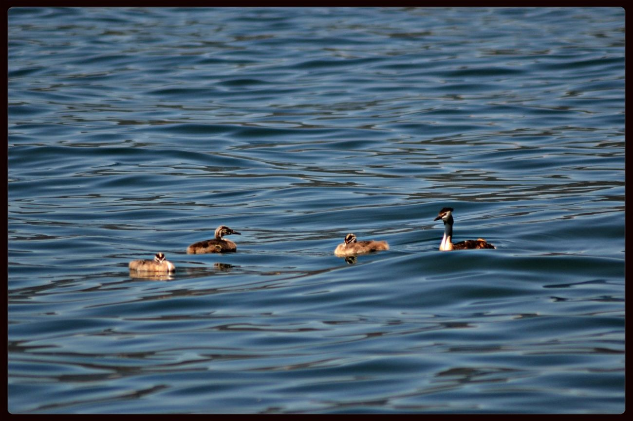 Watching The Ducks Lago Maggiore