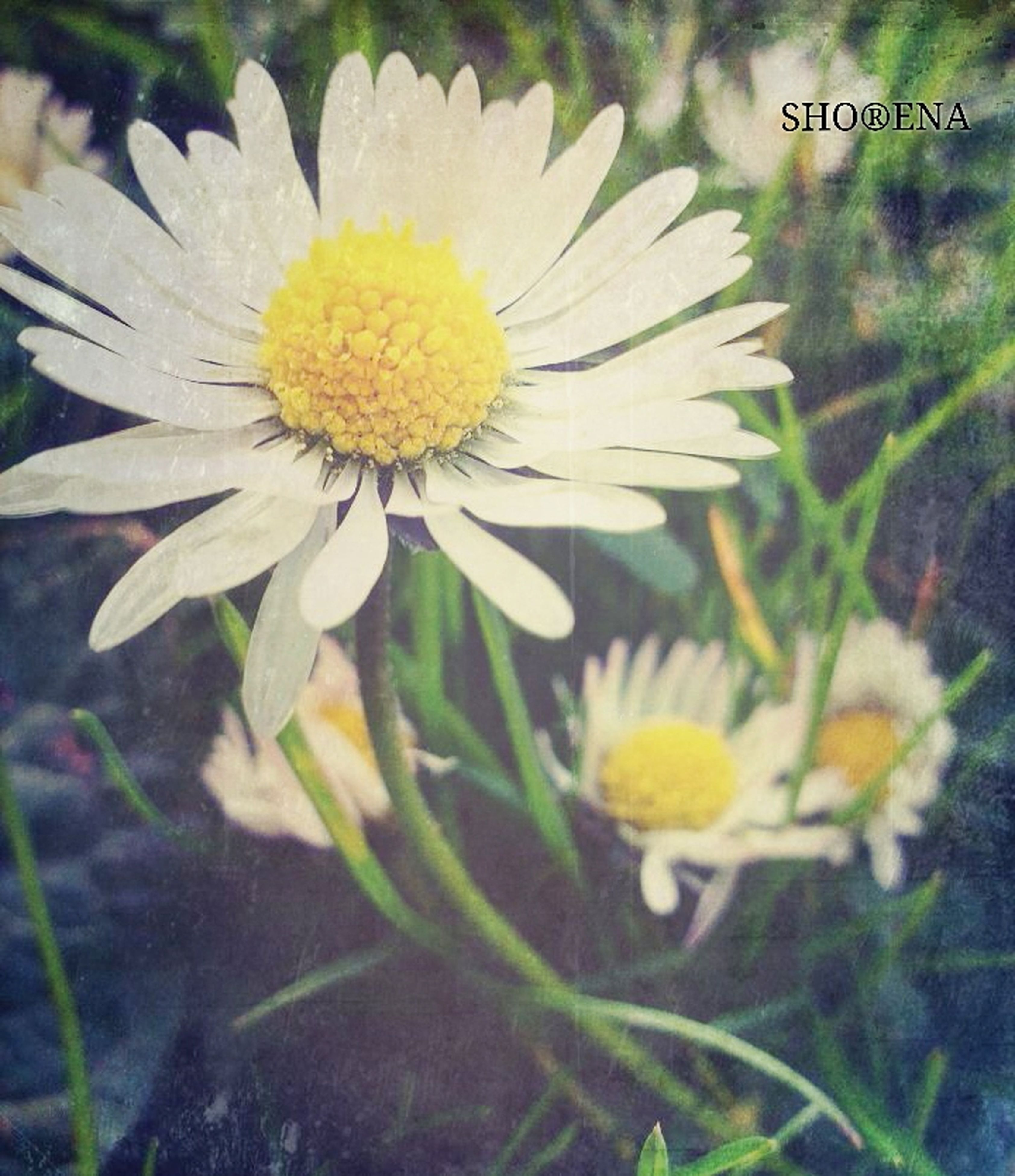 flower, freshness, fragility, petal, flower head, growth, yellow, beauty in nature, close-up, white color, blooming, daisy, nature, pollen, focus on foreground, plant, single flower, in bloom, day, outdoors