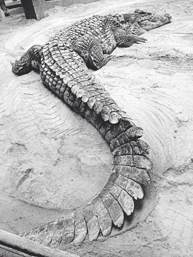 Cocodrilo Crocodile Blanco Y Negro Black And White