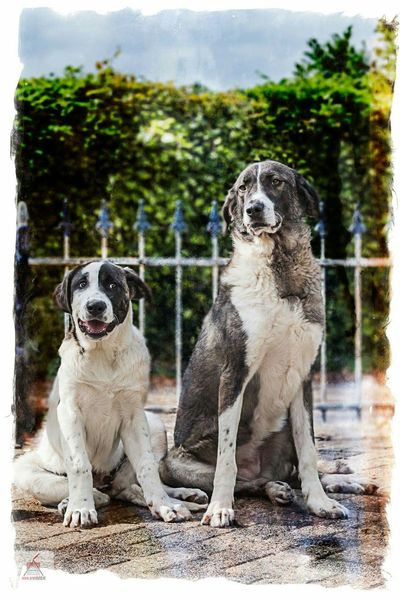 Rafeiro Do Alentejo Dog Dogs EyeEm Dogs Canon5dmarkiii Dogoftheday Canon 24-105 Artistic Pet Photography  Pets