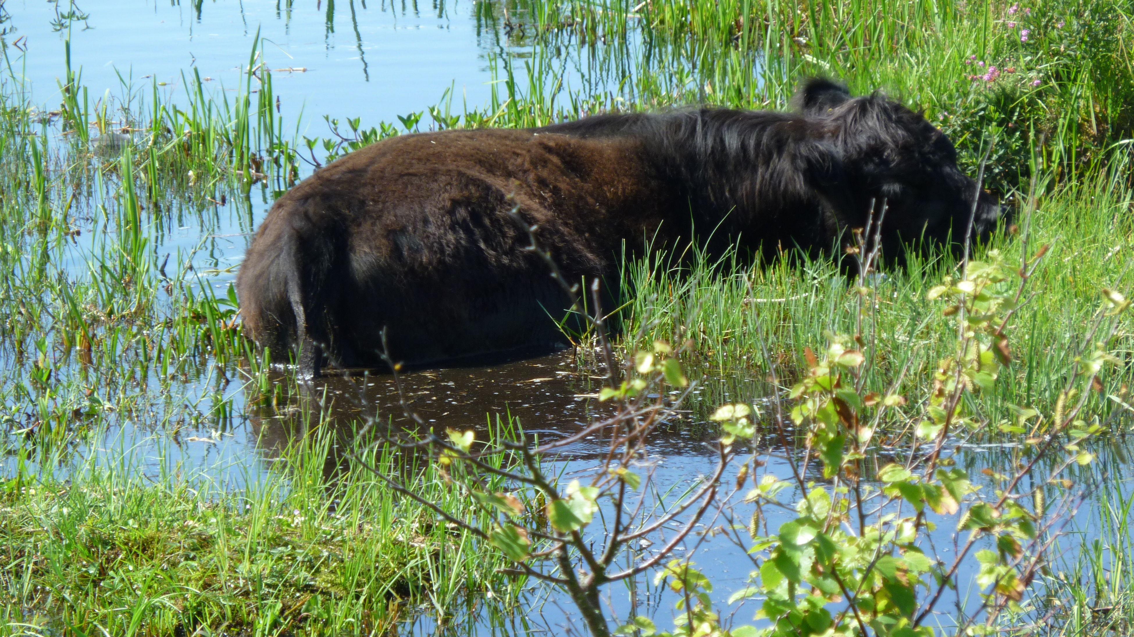 Beautiful Grass Lake Nature Nature Nice Outdoors Swimming Cow Water