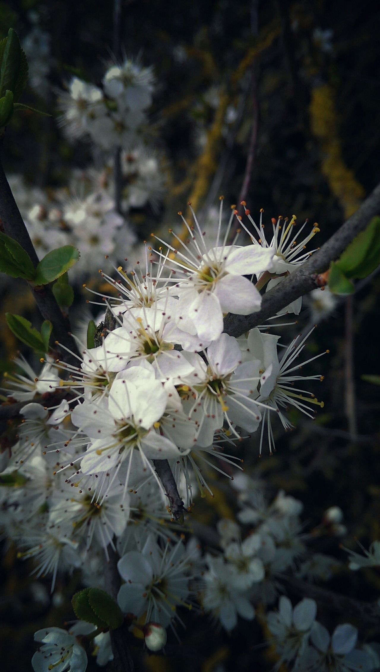 Sloes Blossom Sloe Blossoms Spring Flowers Soft Grunge Flowers, Nature And Beauty Treescollection May have a go at Sloe Gin later this year... If these blossoms are a hint of what's to come .. Admiring Nature's Beauty Mother Natures Beauty...