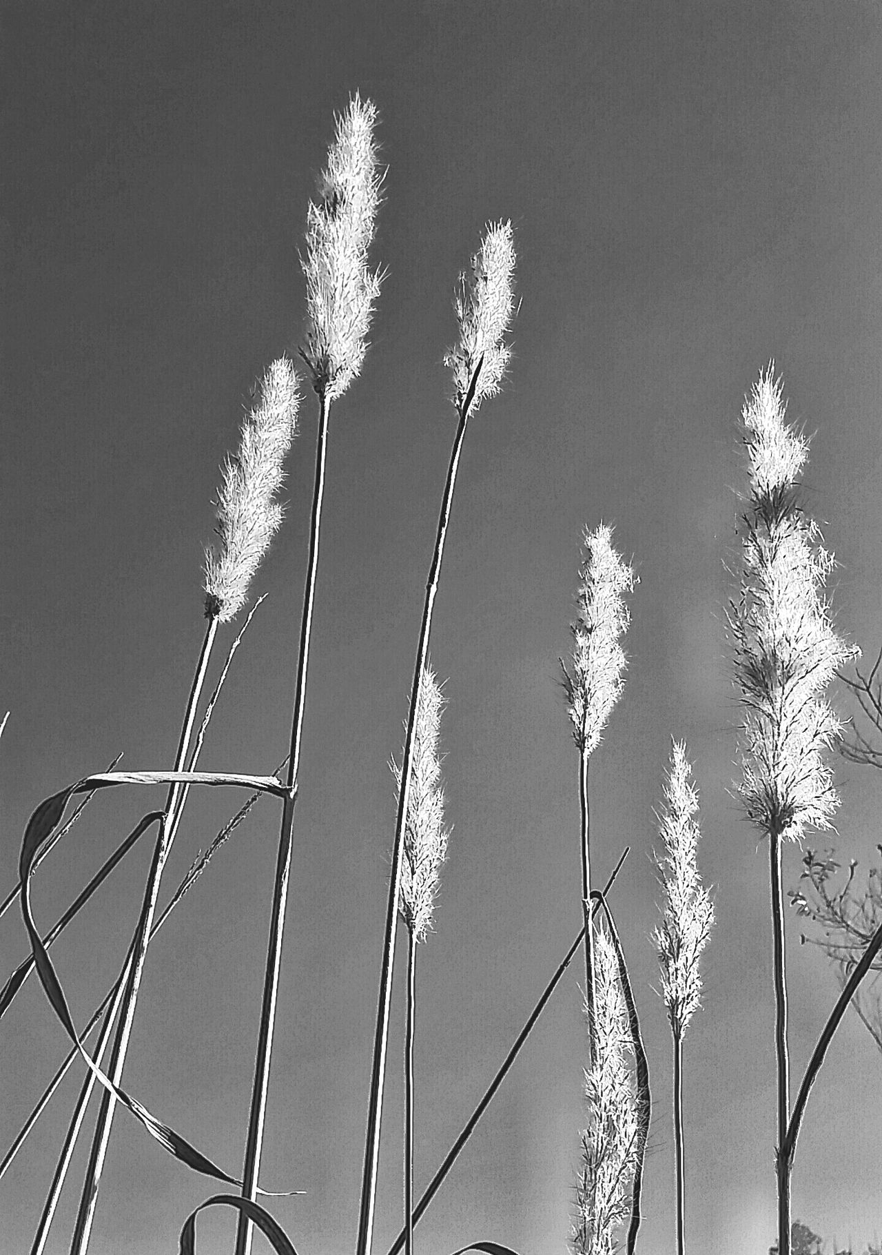 Nature Agriculture Clear Sky Low Angle View Field Old-fashioned Growth Wild Grasses Tall Grass Growth Over Growth Black And White Photography Black And White Dried Grass Autumn Tall Grasses Nature_collection Dried Plant Fluffy Beauty In Nature Flower Softness Outdoor Photography Dried Flowers