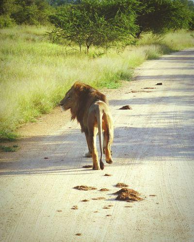 Africa South Africa Safari Animal_collection Animals Lions EyeEm Nature Lover Eye4photography  EyeEmbestshots EyeEm Best Shots