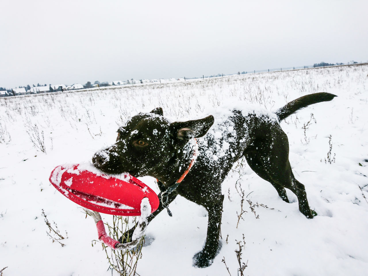 Dog Pets Animal Themes One Animal No People Domestic Animals White Background Day Motion Snow Running Dog Brown Labrador  Dog In Snow Snowy Dog