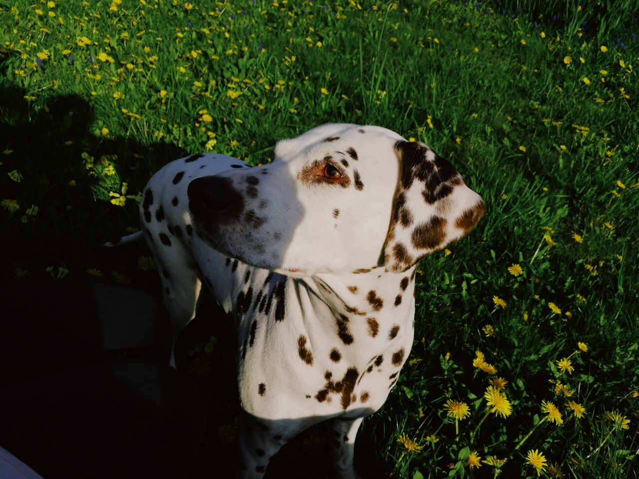 dalmatian dog, dog, pets, domestic animals, one animal, animal themes, mammal, spotted, grass, day, no people, growth, nature, outdoors, close-up