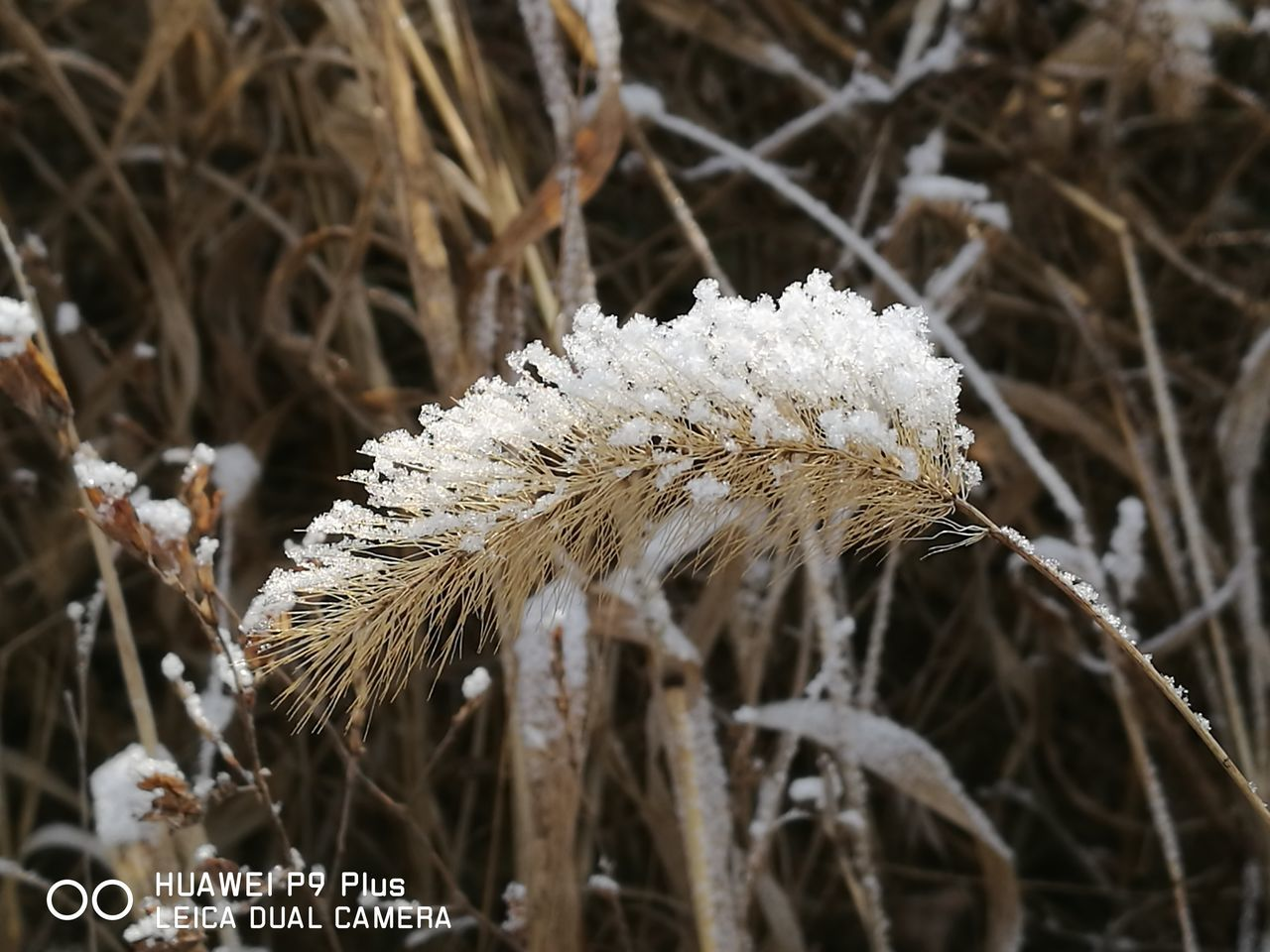 nature, white color, growth, beauty in nature, plant, close-up, winter, focus on foreground, cold temperature, fragility, no people, outdoors, day, flower, snow, freshness