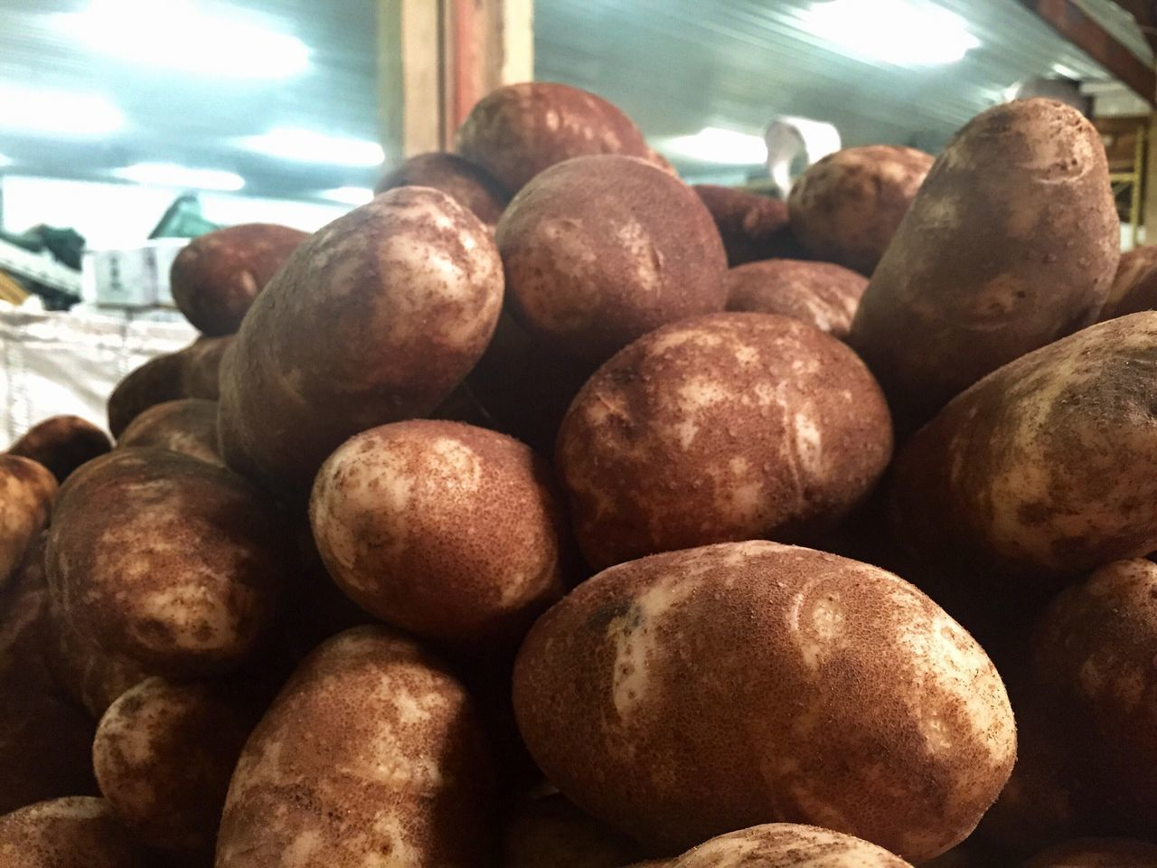 Goldrush russet potato variety washed and ready to be bagged for shipment to a retail destination. Goldrush Russet Potatoes Bulk Warehouse Packing Shed Food Freshness Healthy Eating Indoors  Close-up No People Farm Rural Life Agriculture Farm To Table Farmers Market Farm Stand